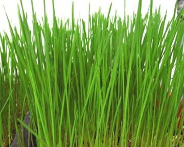 1kg BIO Keimsprossen Weizen Sprossen Superfoods Keimsaat Weizengrassaft Sprossenanzucht - 4