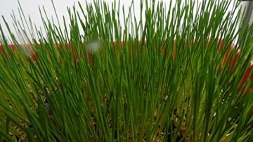 1kg BIO Keimsprossen Weizen Sprossen Superfoods Keimsaat Weizengrassaft Sprossenanzucht - 5