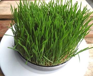 1kg BIO Keimsprossen Weizen Sprossen Superfoods Keimsaat Weizengrassaft Sprossenanzucht - 6