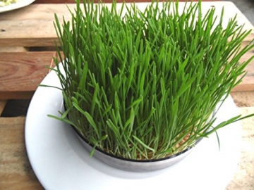 1kg BIO Keimsprossen Weizen Sprossen Superfoods Keimsaat Weizengrassaft Sprossenanzucht - 7