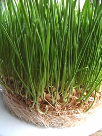 1kg BIO Keimsprossen Weizen Sprossen Superfoods Keimsaat Weizengrassaft Sprossenanzucht - 8