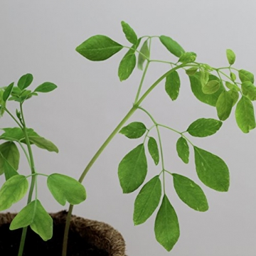 Moringa Samen Pflanzset von Pura Planta zur Anzucht eines Moringa Baum - Moringa oleifera Samen für deinen Moringabaum - Anzuchtset mit Moringa Samen, Topf, Pflanzerde, Bio-Dünger & Pflanzanleitung |- bio-zertifiziertes Baum Geschenk - 9