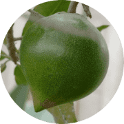 Superfood Lucuma