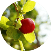 Acerola Kirsche