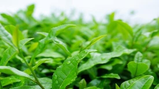 Matcha Tencha Blätter