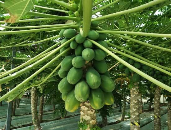 Papayabaum